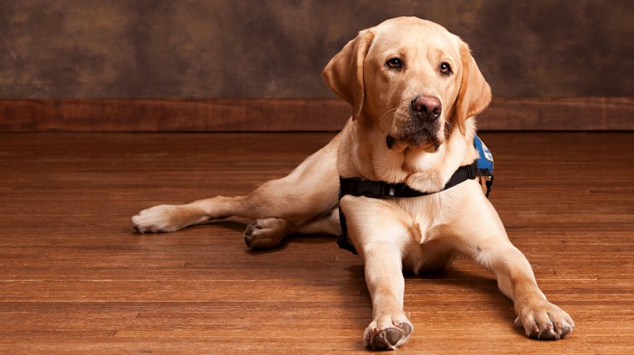 Picture of a guide dog lying on the ground